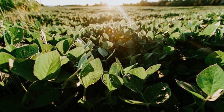 Soyabean farm