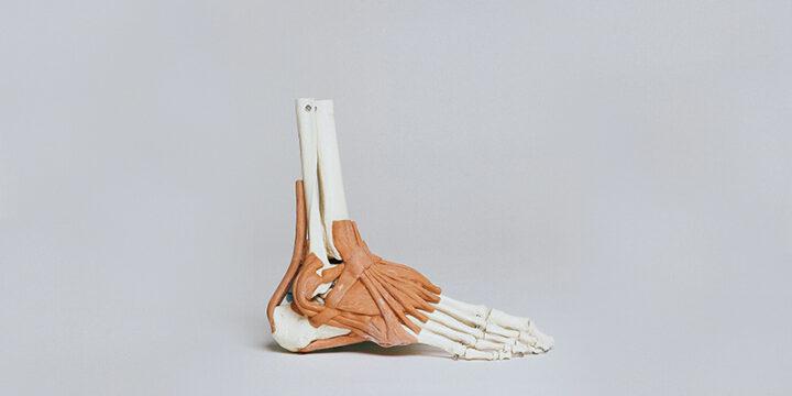 bones of a foot